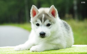 puppyhusky-puppy-18220-1920x1200jpg-93mxirdd